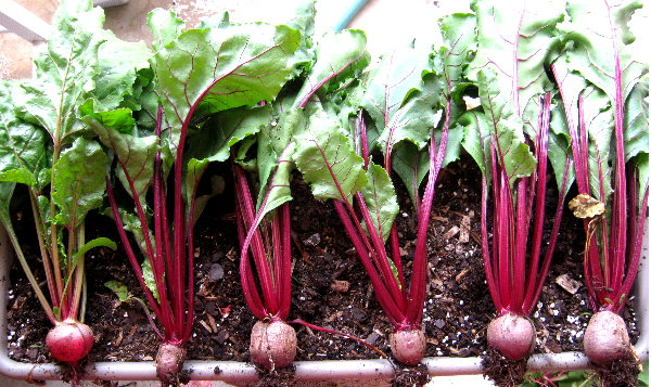 beet greens pulled